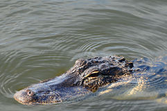 Gator in water hunting Royalty Free Stock Photo