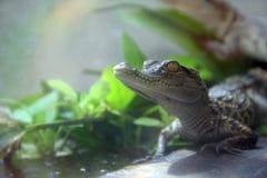 gators Obraz Royalty Free