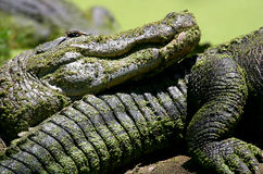 Gators Stock Photo