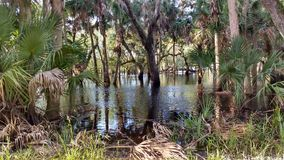 Gators haunt. Standing water with oaks and Florida scrub royalty free stock photography