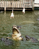 Gators Jump Stock Photos