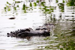2 gators in wetlands Stock Image
