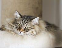 Gatos adoráveis, versão marrom da raça siberian no risco imagem de stock royalty free