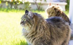 Gatos al aire libre, felino criado en línea pura siberiano nacional Color de Brown fotografía de archivo