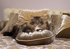 Gatos, animales domésticos mullidos preciosos Foto de archivo libre de regalías