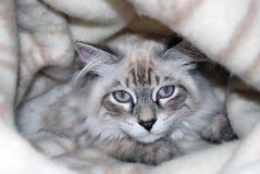 Gatos, animales domésticos mullidos preciosos gatito Imagen de archivo libre de regalías