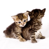 Gatos bonitos Fotografia de Stock Royalty Free