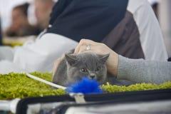 Gatos bonitos e bonitos Fotografia de Stock Royalty Free