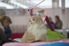 Gatos bonitos e bonitos Imagem de Stock