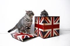 Gatos británicos del shorthair Imagen de archivo