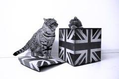Gatos británicos del shorthair Fotografía de archivo libre de regalías