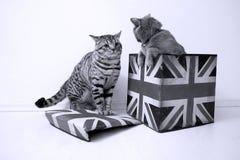Gatos británicos del shorthair Fotografía de archivo