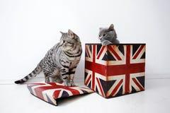 Gatos británicos del shorthair Fotos de archivo