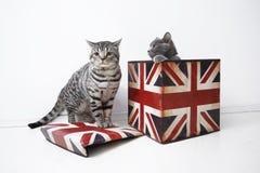 Gatos británicos del shorthair Fotos de archivo libres de regalías