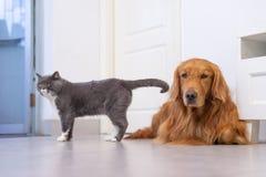 Gatos británicos y golden retriever del shorthair Fotografía de archivo