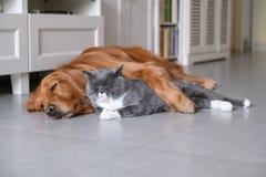 Gatos britânicos e golden retriever do shorthair Fotos de Stock