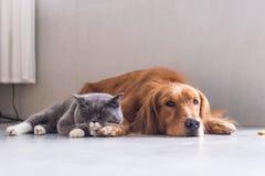 Gatos britânicos e golden retriever do shorthair Imagens de Stock
