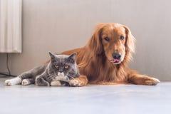 Gatos britânicos e golden retriever do shorthair Imagens de Stock Royalty Free