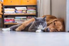 Gatos britânicos e golden retriever do shorthair Imagem de Stock