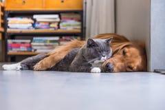 Gatos britânicos e golden retriever do shorthair Fotos de Stock Royalty Free