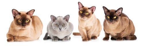 Gatos burmese junto Imagens de Stock