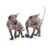 Gatos calvos de la esfinge Imágenes de archivo libres de regalías