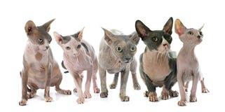 Gatos calvos de Sphynx fotografia de stock