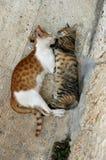Gatos cariñosos Fotos de archivo libres de regalías