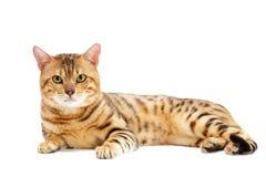 Gatos, casta de Bengala Imagen de archivo libre de regalías