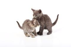 Gatos cinzentos do bichano Fotografia de Stock Royalty Free