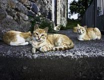 Gatos da rua Fotografia de Stock Royalty Free