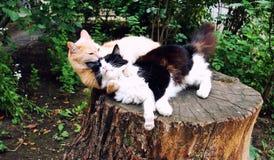 Gatos de afago Imagens de Stock