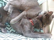 Gatos de Babby Foto de archivo libre de regalías