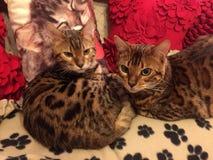 Gatos de Bengal em um sofá Imagens de Stock