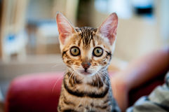 Gatos de Bengal - tigres Fotografia de Stock