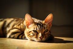 Gatos de Bengal - tigres Imagens de Stock