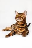 Gatos de Bengal - tigres Fotos de Stock Royalty Free