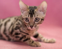 Gatos de Bengal - tigres Imagem de Stock