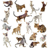 Gatos de Bengala imagen de archivo libre de regalías