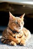 Gatos de Bengala - tigres Imagen de archivo