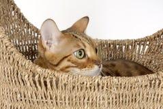 Gatos de Bengala - tigres Imágenes de archivo libres de regalías