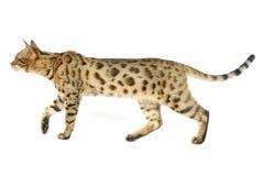 Gatos de Bengala - tigres Fotografía de archivo libre de regalías
