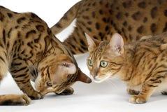 Gatos de Bengala - tigres Fotografía de archivo