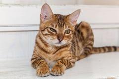 Gatos de Bengala - tigres Imagenes de archivo