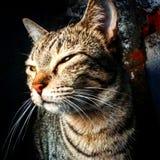 Gatos de Bengala - tigres fotos de archivo