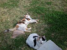 Gatos de casa no jardim no dia Fotos de Stock Royalty Free