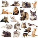Gatos de coon de Maine Imágenes de archivo libres de regalías