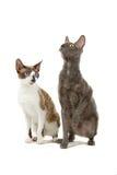 Gatos de Cornualles de Rex imagen de archivo