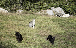 Gatos de la calle de la manada Foto de archivo