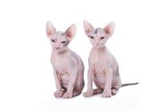 Gatos de la esfinge Imagenes de archivo